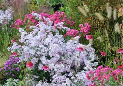 Aster, Echinacea E Pennisetum