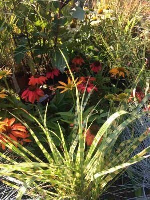 Carex, Festuca E Echinacea