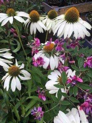 Echinacea E Pisello Odoroso